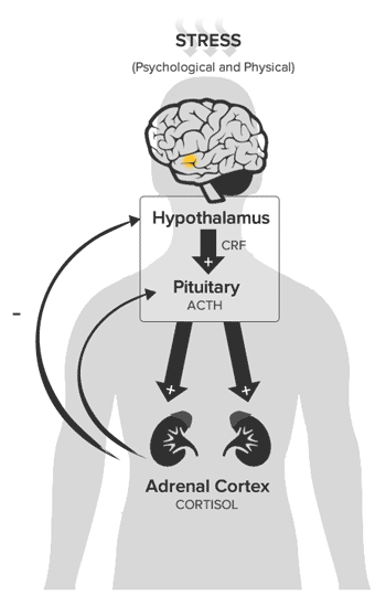 hpa-axis-stress-response